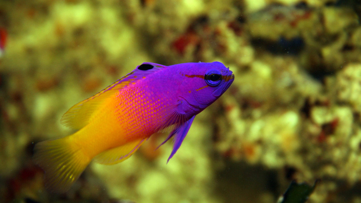 Basslet dottyback royal gramma med lrg for Where to buy saltwater fish