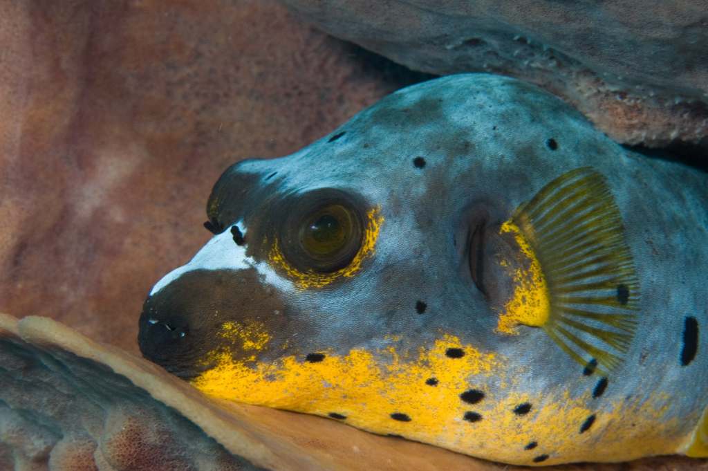 Puffer yellow belly dogface puffer for Dog face puffer fish