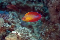 shutterstock_red-flasher-wrasse