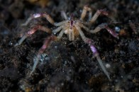 shutterstock_sea-spider