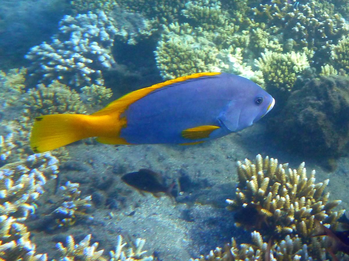 Grouper powder blue grouper for Blue saltwater fish
