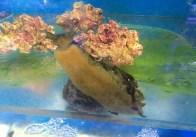 U Wish Jellyfish Nudibranch