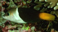 banner-wrasse