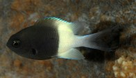 bi-color-chromis