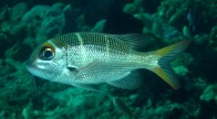 big-eye-sea-bream