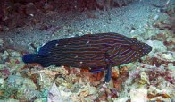 blue-lined-grouper