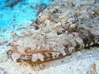 crocodilefish-2
