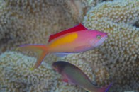 dispar-anthias9
