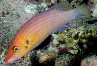 eight-line-wrasse1