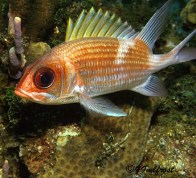 long-jaw-squirrelfish4