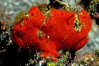 red--frogfish