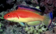 red-hooded-fairy-wrasse