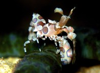 rsz_harlequin_shrimp