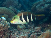 shutterstock_barred-saddle-wrasse