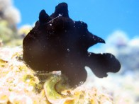 shutterstock_black-frogfish
