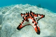 shutterstock_chocolate-starfish1