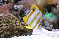 shutterstock_copperband-butterflyfish