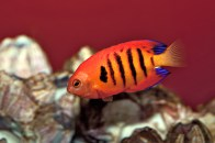 shutterstock_flame-angelfish2