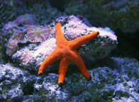 shutterstock_orange-starfish1