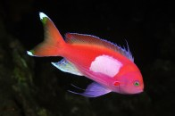 shutterstock_pink-anthias2
