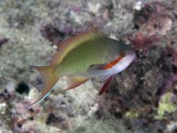 shutterstock_red-cheeked-anthias
