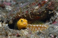 shutterstock_tiger-jawfish