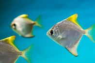 http://www.marinefishez.com/saltwater-fish/misc-saltwater-fish/silver-moony-detail