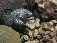 shutterstock_whitemouth-spotted-eel