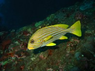 shutterstock_yellow-line-sweetlips8