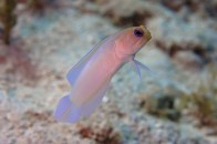 shutterstock_yellowhead-jawfish