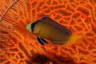 splended-dottyback