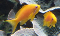 square-anthias-female