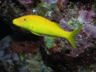 yellow-goatfish