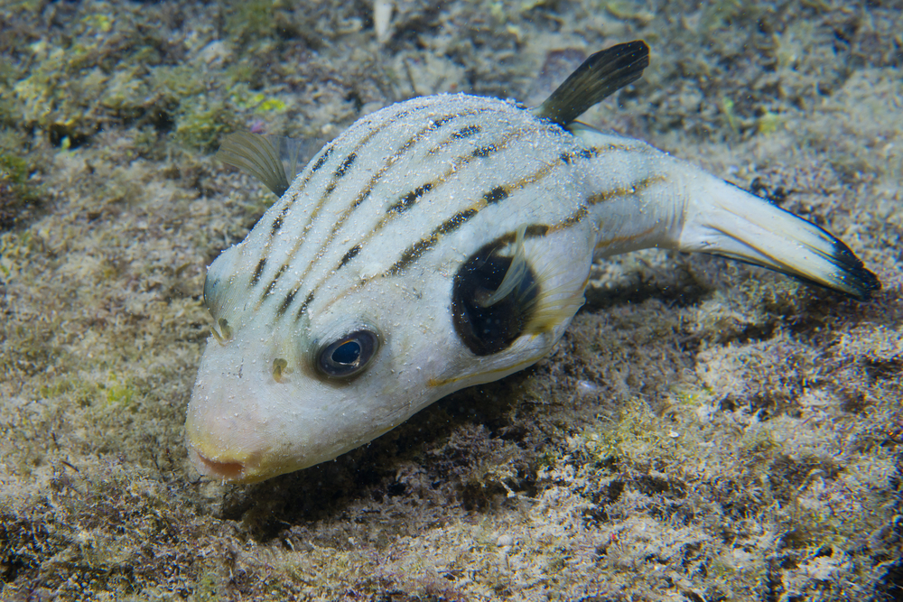Puffer striped dogface puffer for Acclimating saltwater fish