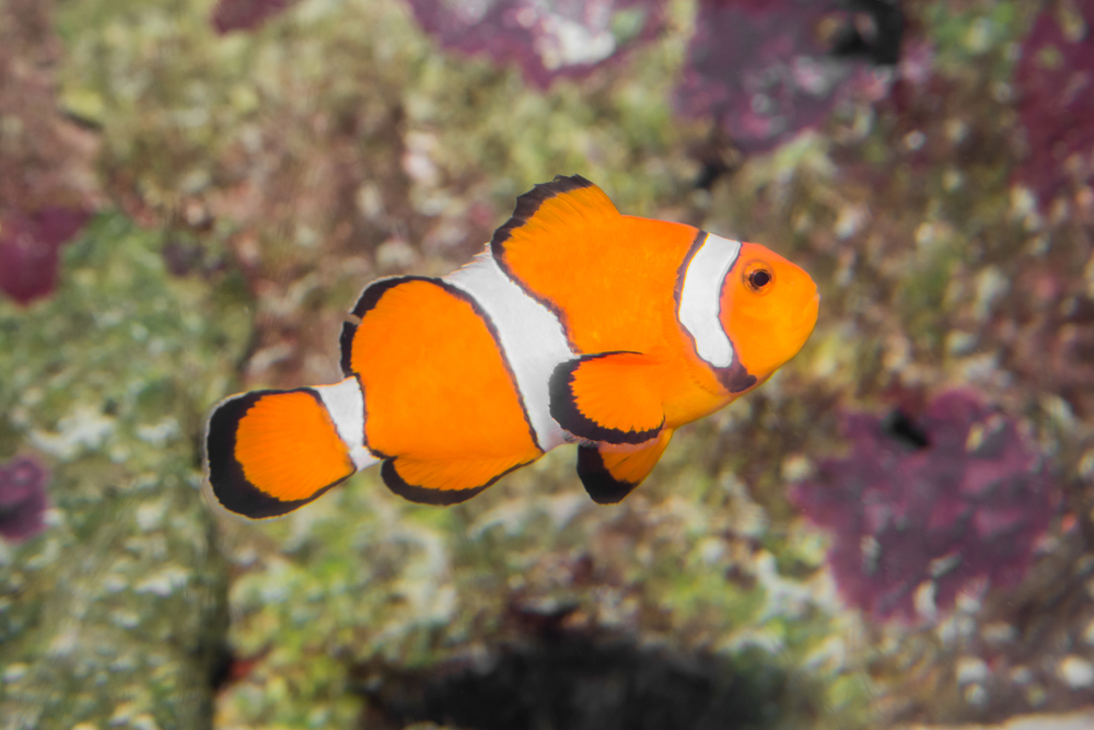 Ocellaris clownfish for Clown fish for sale