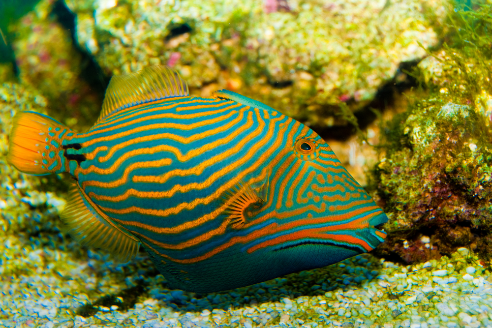 Undulate Triggerfish-MarineFishEZ.com