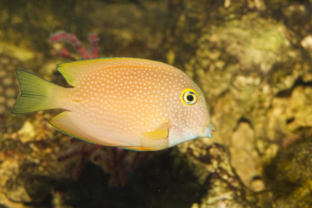 Surgeonfish tang squaretail bristletooth tang for Tang saltwater fish