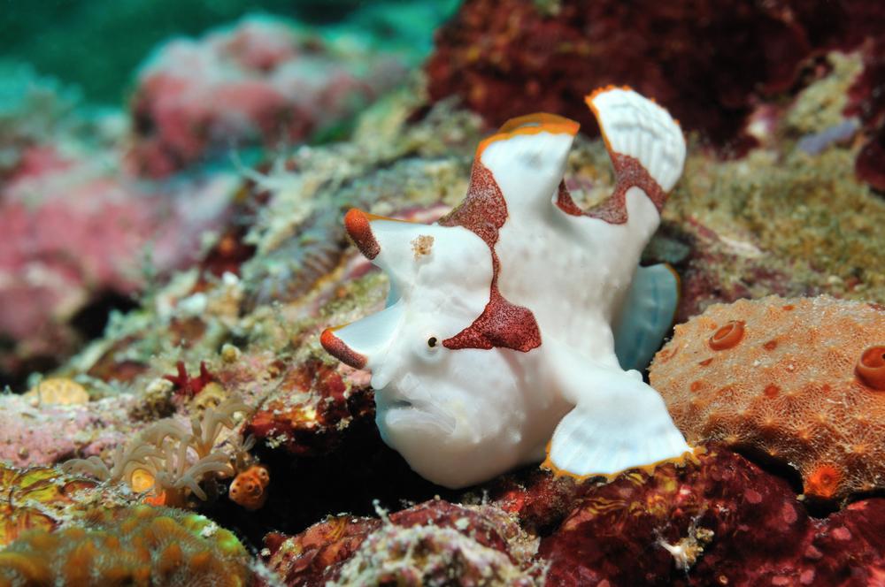 Frogfish : Wartskin Frogfish Sml