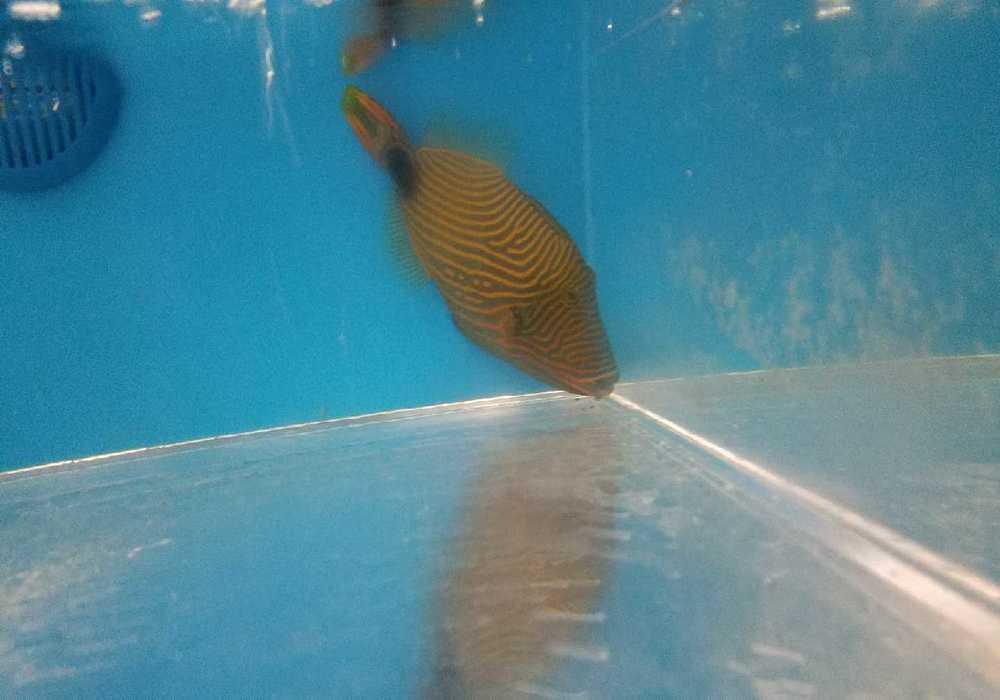 undulate triggerfish marinefishez com