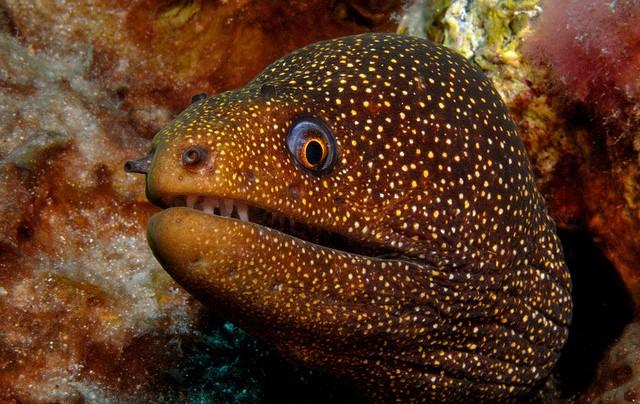 Eel : Golden Tail Moray Eel